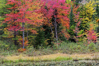 Photograph - Wetland Fall Foliage by Alan L Graham