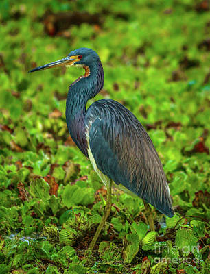 Photograph - Wetlands Tricolored Heron by Tom Claud