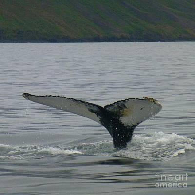 Photograph - Whale Flukes by Barbie Corbett-Newmin