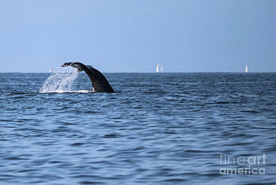 Photograph - Whale Fluking by Suzanne Luft