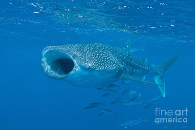 Underwater View Photograph - Whale Shark, Ari And Male Atoll by Mathieu Meur