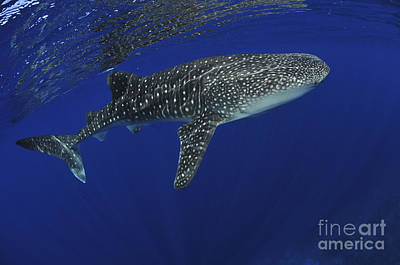 Whale Shark Near Surface With Sun Rays Art Print by Mathieu Meur