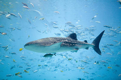 Whale Shark Swimming In Aquarium Art Print by Stephen Marks