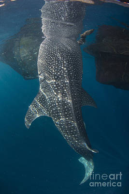Animals Photos - Whale Shark With Head Reflected by Mathieu Meur