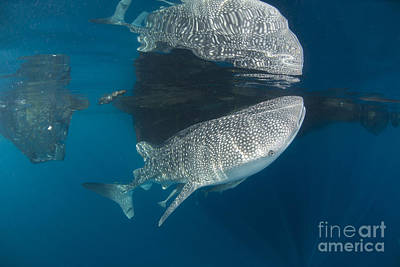 Animals Photos - Whale Shark With Remora, Its Body by Mathieu Meur