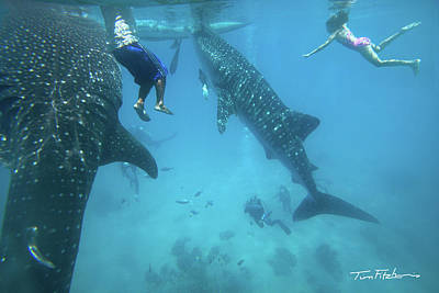 Whale Sharks Art Print by Tim Fitzharris