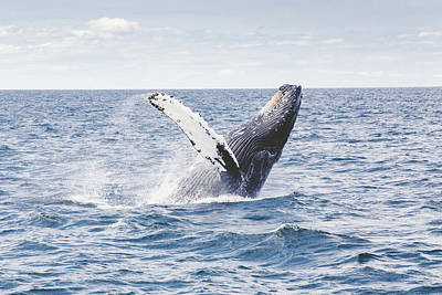 Whale Photograph - Whale Tail by Happy Home Artistry