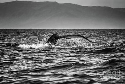 Photograph - Whale Tail by Marilyn Nieves