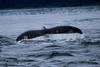 Photograph - Whale Tail by Trent Mallett