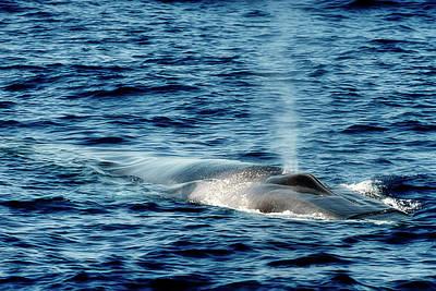 Photograph - Whale Watching Balenottera Comune 1 by Enrico Pelos