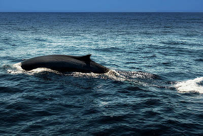 Photograph - Whale Watching Balenottera Comune 6 by Enrico Pelos