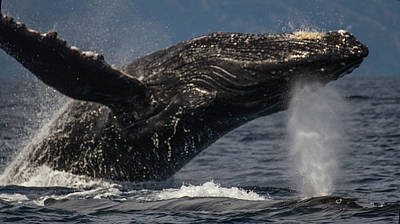 Photograph - Whale With Baby by Suanne Forster