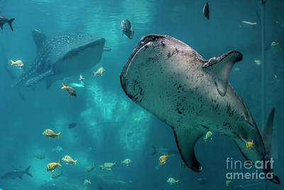 Photograph - Whale-sharks by Barbara Bowen