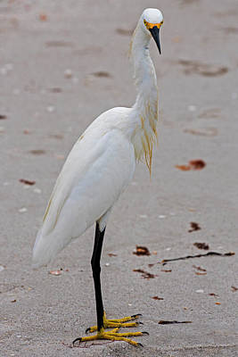 Photograph - What Are You Looking At - Snowy Egret Naples Florida by Toby McGuire