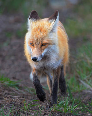 Photograph - What Does The Fox Say? by CR  Courson