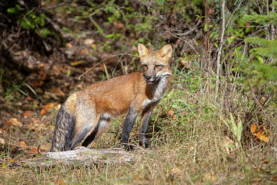 Photograph - What Does The Fox Say by Jack Bell