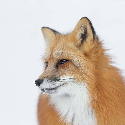 Photograph - What Does The Fox See by Jack Bell