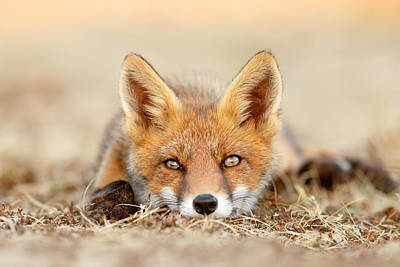 Fox Kit Photograph - What Does The Fox Think? by Roeselien Raimond