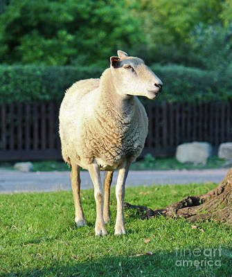 Photograph - What Ewe Looking At ? by Terri Waters