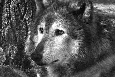 Photograph - What Is A Wolf Thinking by Karol Livote