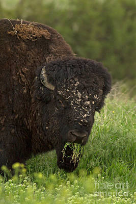 American Bison Photograph - What Ru Lookin At by Natural Focal Point Photography