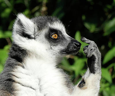 Photograph - What Should I Do - Ring-tailed Lemur by Margaret Saheed