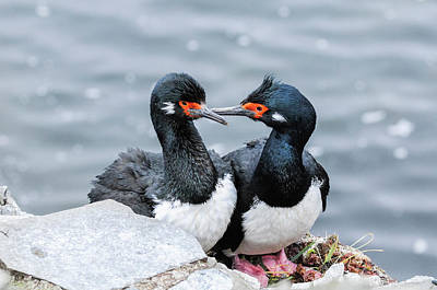 Photograph - Rock Shags Chatting. by Usha Peddamatham