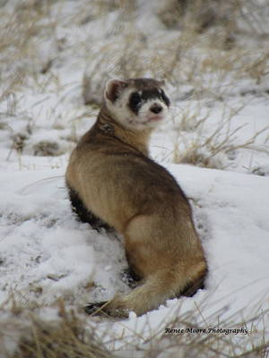 Black-footed Ferret Photograph - Whatare You Looking At by Renee Moore