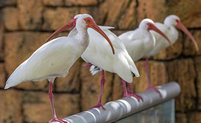 Ibis Mixed Media - Whats For Lunch by Capt Gerry Hare