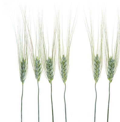 Photograph - Wheat 1 by Rebecca Cozart