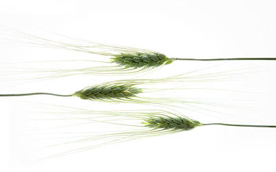 Photograph - Wheat 3 by Rebecca Cozart