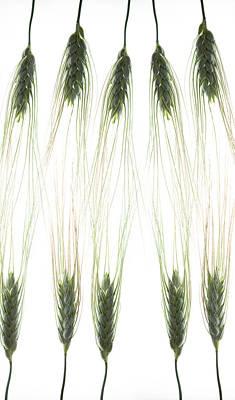 Photograph - Wheat 4 by Rebecca Cozart