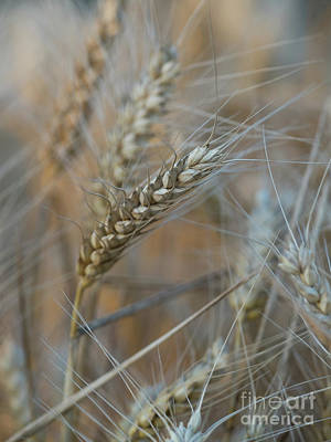 Photograph -  Wheat Close Up by Giovanni Malfitano