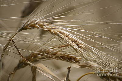 Photograph - Wheat Detail by Mary-Lee Sanders