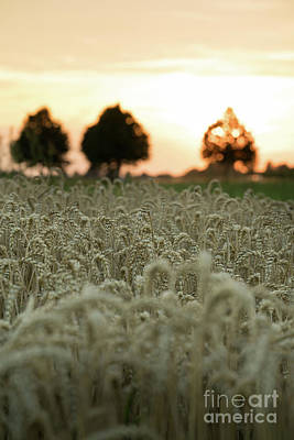 Photograph - Wheat Field At Sunset I by Giovanni Malfitano