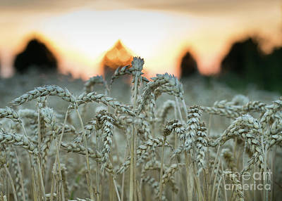 Photograph - Wheat Field At Sunset II by Giovanni Malfitano