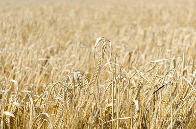 Photograph - Wheat Field Background by IPics Photography