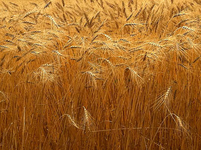 Photograph - Nebraska Golden Wheat Field by Ginger Wakem