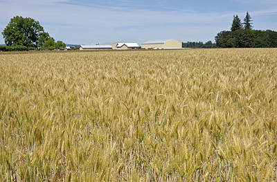 Wheat Field In The Willamette Valley. Original by Gino Rigucci