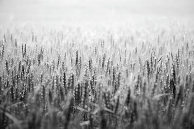Photograph - Wheat Field by Peter Scott
