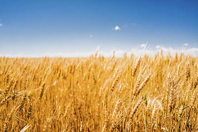 Photograph - Wheat by Nathan Hillis