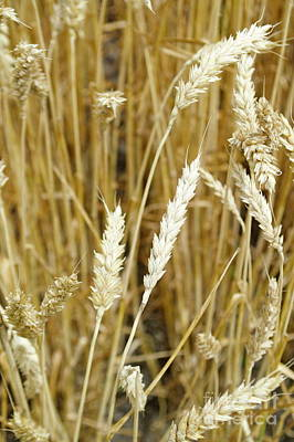 Photograph - Wheat by Pamela Walrath