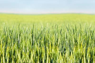 Photograph - Wheat Ripening by Todd Klassy