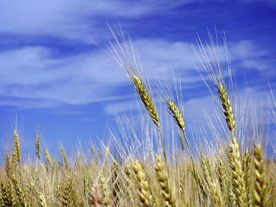 Wheat Trio Art Print