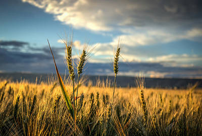 Lewiston Photograph - Wheat's Up by Brad Stinson