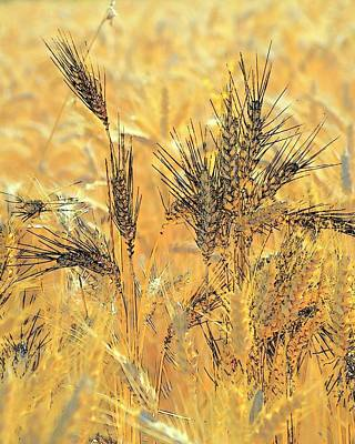 Photograph - Wheatscape 6345 by Jerry Sodorff