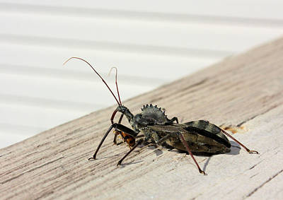 Photograph - Wheel Bug With Prey by Kristin Elmquist