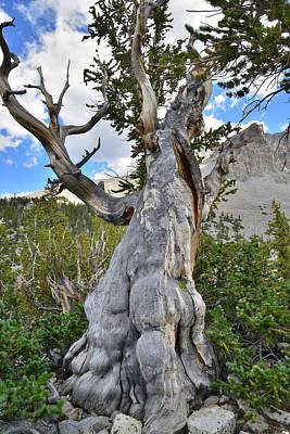 Photograph - Wheeler Peak Basin Bristlecone by Ray Mathis