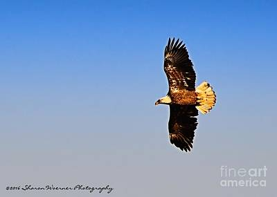 Photograph - When An Eagle Soars by Sharon Woerner