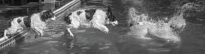 Photograph - When English Springer Spaniels Fly Bw by Steve Harrington